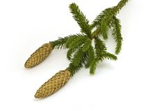 Fir branch with cones Stock Photos