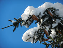 Fir branch with cones covered with snow. A fur-tree branch with cones covered with snow on a sunny winter day Stock Photos