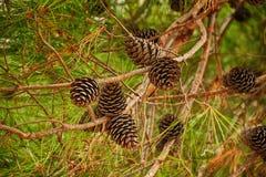 Fir branch with cones Stock Photos