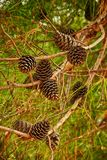 Fir branch with cones Stock Photo