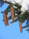 Fir branch with cones and snow Stock Photo