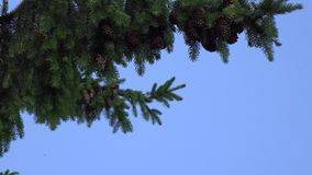 Fir branch with cones swings in wind on blue sky background. 4K stock footage