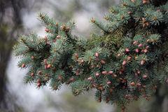 Fir branch! Stock Photography