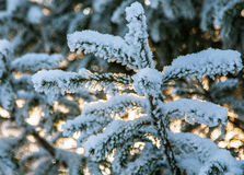Fir branch covered with snow Stock Photo