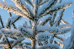 Fir branch covered with snow Stock Image