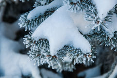 The fir branch covered by the snow Royalty Free Stock Images