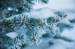 The fir branch covered by the snow Stock Image