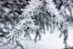 Fir branch covered with snow Royalty Free Stock Photography