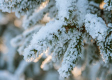 Fir branch covered with snow Stock Images
