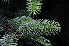 Fir branch on a dark background Royalty Free Stock Photo