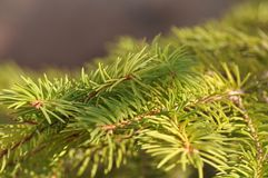 Fir branch detail. Detail of fir branch with buds in the fall Stock Photography