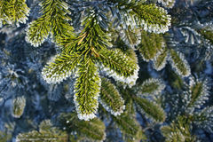 Fir branch in the frost. Stock Photos