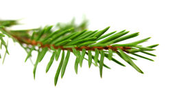 Fir branch with green needles on white  background Stock Image