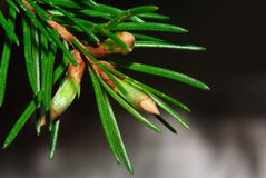 Fir branch with growing buds. On blur background Royalty Free Stock Images