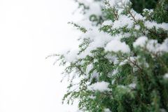 Fir branch heavily covered with fresh snow on pure white background. Fir-tree branch heavily covered with fresh snow on pure white background Royalty Free Stock Image