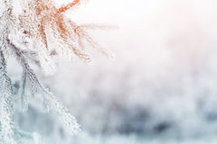 Fir branch in hoar frost on cold morning Stock Image