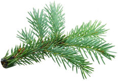 Fir branch Royalty Free Stock Photo