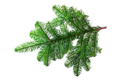 Fir branch isolated. Fir branch on a white background Royalty Free Stock Image