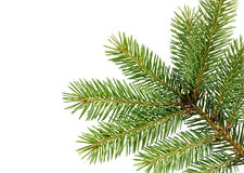 Fir branch isolated Royalty Free Stock Images