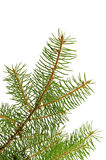 Fir branch Royalty Free Stock Photography