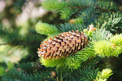 Fir branch and pine cone. Royalty Free Stock Image