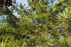 Fir Branch With Pine Cone Stock Image
