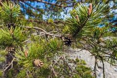 Fir Branch With Pine Cone Stock Photos