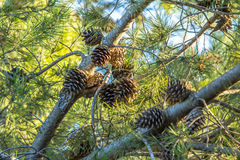 Fir Branch With Pine Cone And Snow Flakes Royalty Free Stock Photo