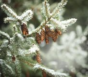 Fir branch with pine cones on snow. Winter time Royalty Free Stock Photos