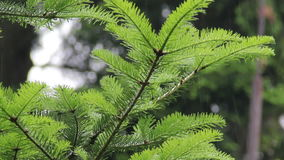Fir branch in the rain stock video footage