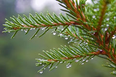 Fir branch with rain drops Royalty Free Stock Photo