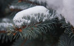 Fir branch in the snow Royalty Free Stock Images