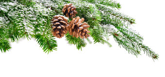 Fir branch with snow and cones Royalty Free Stock Image