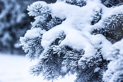 Fir branch on snow Stock Images