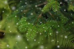 Fir branch and snow. Stock Photography