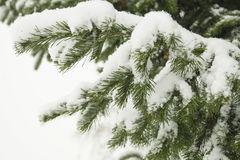 Fir branch, snow. Stock Photos