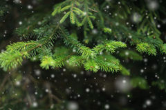 Fir branch and snow. Royalty Free Stock Images