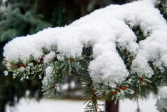 Fir branch in snow. Trees covered with first snow Royalty Free Stock Image