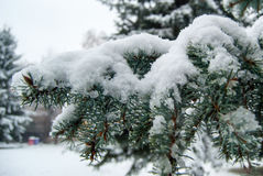 Fir branch in snow. Wet snow on spruce branch Stock Images