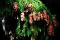 Fir branch with cones in sunlight Royalty Free Stock Photography
