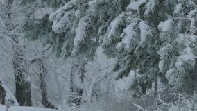Fir branch trees in snow wild forest Christmas. Fir branch  trees in snow wild forest Christmas winter snowing stock video