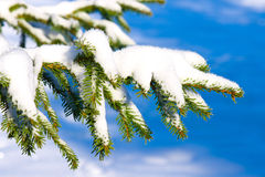 Fir branch under snow Royalty Free Stock Photography