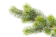 Fir branch on white. Royalty Free Stock Photography