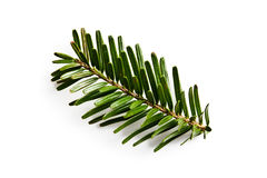 Fir branch on white backgound Royalty Free Stock Photography