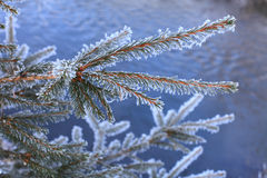 Fir branch. Royalty Free Stock Photos