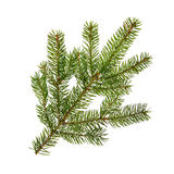 Fir branch on white Royalty Free Stock Photo
