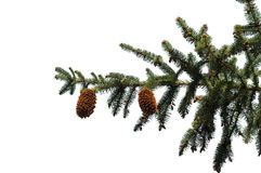 Fir branches. On white background Stock Photo