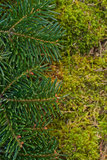 Fir branches Royalty Free Stock Images