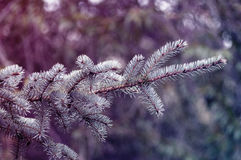 Fir branches background Stock Photo