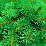 Fir branches Royalty Free Stock Photography